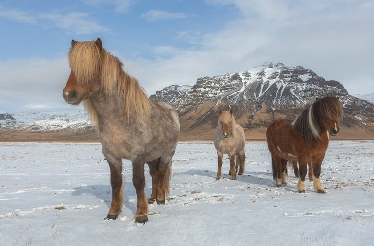 碧山旅行-冰岛旅游-和呆萌冰岛马亲密接触