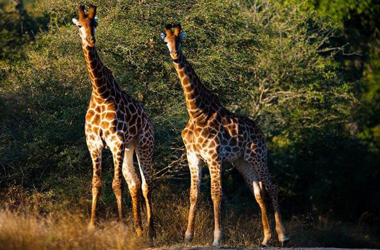 碧山旅游-非洲旅游-去克鲁格国家公园参观野生动物