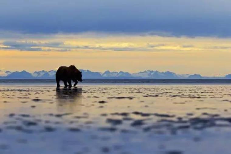 在美国还有这样的地方,那里最大的国家公园是黄石公园的6倍,野生动物们也都变得很大……